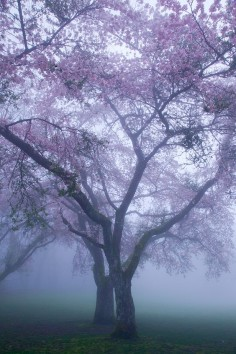 Blossoms in the mist / Vancouver, Canada