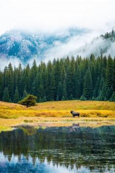 Bull Moose at Piney Lake (by NinetySeventy)