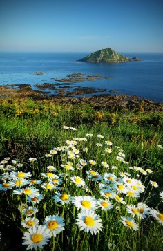 Daisies by the sea, Devon, England