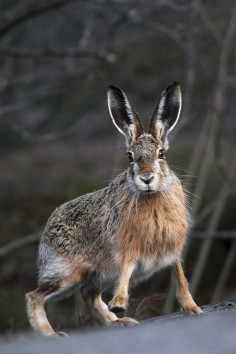 Hare by Anette Holmberg.
