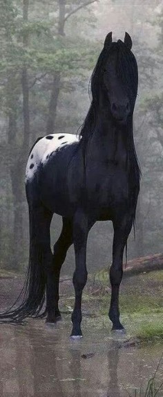 HORSE: breathtaking, haunting black Apaloosa  in the forest.