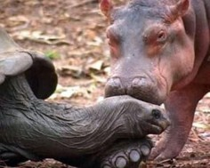 In 2004 a tsunami swept a family of hippos in Africa out to sea, leaving a baby hippo stranded on a reef. A volunteer managed to rugby tackle the animal to rescue him and the baby was named Owen in his honor. Owen, however, was frightened and confused, so when he was released in an animal sanctuary, he ran to a 130-year-old tortoise named Mzee and cowered behind him. Mzee eventually came out of his shell and grew to love his new friend, and the two became inseparable.