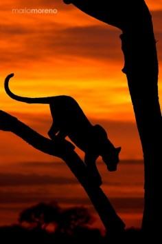 Leopard Sunset, Kruger NP, South Africa by Mario Moreno