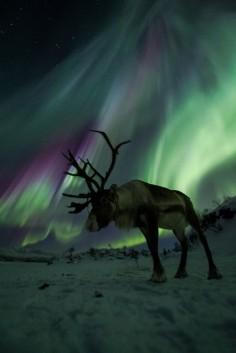 Norwegian Caribou