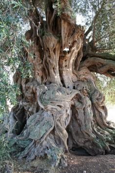 Olive Tree - Sardinia
