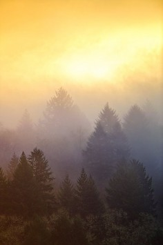 Pine tree sunrises