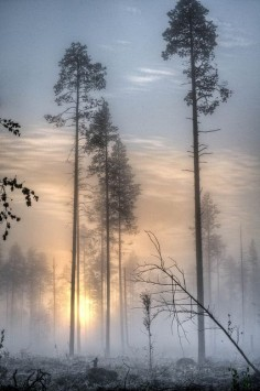 Skinny trees in the morning mist