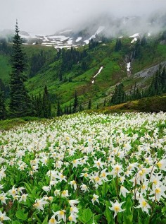 "Spring Lillies, Washington - The ""Twilight"" state. According to me, the state with enchanting nature. Breath taking landscapes decorated with high mountains and water falls. All the nature lovers must visit this state at least once!"