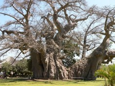 The biggest Baobab Tree in the world.(Magoebaskloof near Tzaneen) Also possible the oldest tree in the world, dating back 6000 years! And so far as I know the only tree with a bar inside - known as the Boabab Bar (via Funky Doodle Donkey) - I can  sound of the soundsystem is awesome inside the tree!!!!