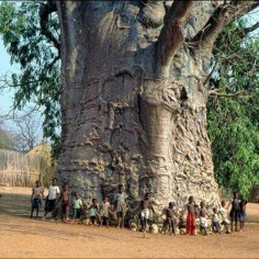 The boabab tree in S  2000 yrs old. Known as the tree of