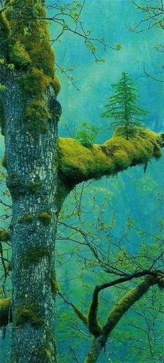 Tree on a tree! Klamath, California