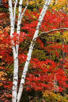 White Birch and Maple Leaves, along the Swift River in New Hampshire