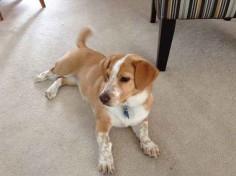 1. Corgi + Beagle