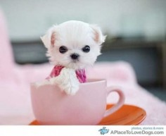 1 Maltese teacup puppy please.