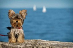 12 summer yorkie pictures at the beach  #yorkies #yorkshireterrier #dogs