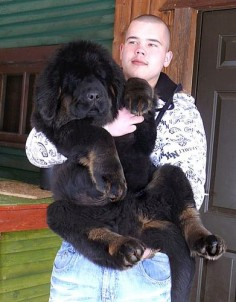 month old Tibetan Mastiff