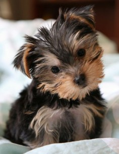 27 Cute Pictures of Yorkshire Terriers  If I got a small dog it would be a Yorkie