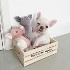 3 pig #puppy