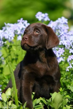 5 interesting facts about labrador retrievers, click the pic to know