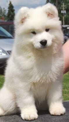 5 Most affectionate dog breeds - The American Eskimo Dog breed is affectionate, loyal, protective, friendly and intelligent dog breed.
