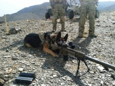 5th Deployment and he doesn't realize he's a dog yet. Military Working Dog (MWD) German Shepherd Dog (GSD).