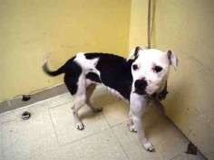 ●6•28•16 STILL THERE●STORM - #A1078357 - Urgent Staten Island - FEMALE WHITE/BLACK PIT BULL MIX, 1 Yr - STRAY - HOLD FOR ID Reason PERS PROB -  Intake 06/21/16 Due Out 06/28/16 - FRIENDLY, ALLOWED HANDLING - CAME IN WITH AL #A1078359 AND CAPONE #A1078358