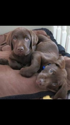 8 week old chocolate pups #dogs #pets #LabradorRetrievers #puppies #CutePuppies