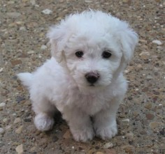 A Bichon Frise that I will have one day. (Bichon Frise - curly white lap dog)