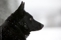 A black Norwegian Elkhound.  We never see them in the