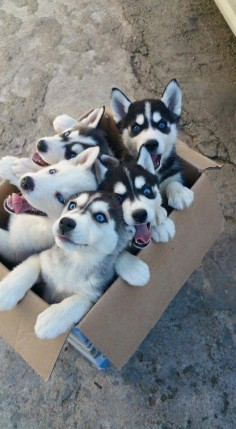 A box of siberian pupkakes