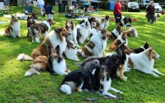 "A convergence of collies at ""The Gathering"" at Sunnybank in New Jersey"