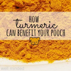 A holistic approach to health is centered around natural sources of  preventative care. By taking care of our bodies and being mindful about  what we put into them, we become healthier, avoiding and minimizing  ailments. This practice of living a holistic lifestyle can be extended to  our pets. One of our family's daily staples is turmeric. It's as good for  our dogs as it is for us.  what is turmeric?  Turmeric is a plant in the ginger family. It is native to southeast India  and is used in ...