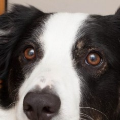 A Natural Cataract Cure for Dogs