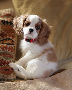 "A new Cavalier King Charles Spaniel puppy in the family named, Daisy. ""Happiness is a warm puppy!"" ~ Charles M Schulz / photo by Rich Bauer"