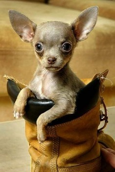 .A real shoe in for  wink, wink ~ Great Chihuahua Portrait