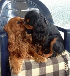 A ruby and a black and tan King Charles Cavalier Spaniels in love