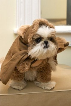 A Shih Tzu dressed as an Ewok. Shih Tzus are baby Ewoks.