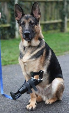 A three-legged Rescue German Shepherd Dog, Shadow. has been given a revolutionary new prosthetic paw after its fore leg was almost torn off in a trap