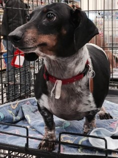 Adoptable Dachshund • Adult • Male • Small Helping Paws Animal Rescue Lindsay, OK