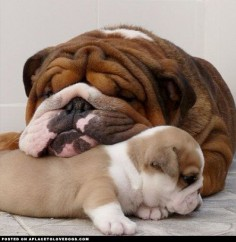adorable bull dog and puppy ❤Dog images, dog animations, dog quotes, dog training tips, funny dogs, dog and cat, dog and pet, cute dog and baby ♥