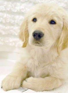 adorable golden puppy