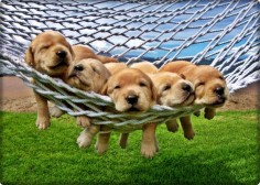 Adorable Golden Retriever Yellow Lab Puppies
