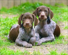 Adorable GSP pups.