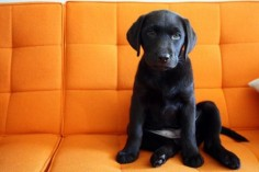 Adorable! I'm a sucker for a black lab puppy!