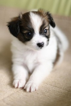 Adorable Little Papillon