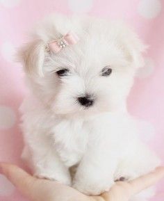 Adorable Maltese Puppy by TeaCups Puppies & Boutique. Wish tea cups were not so wrong They are cruel to be brought into this  to be