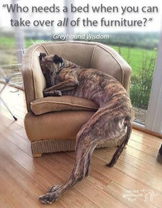 ADORABLE!!!!! Retired Greyhound Trust, UK.