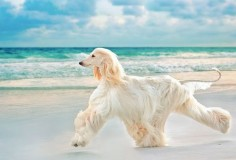 Afghan hound -- Curated by Noah's Ark Mobile Veterinarian Service | 784 Raymer Rd, Kelowna BC V1X1A2 | (250) 212-5069
