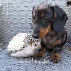 African Pygmy hedgehog and Silver Dapple miniature dachshund