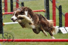 Agility  even the rain will stop this Border Collie from having fun.